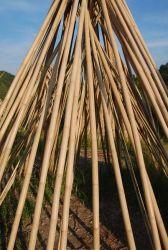 Bambù 002 di Tonkin