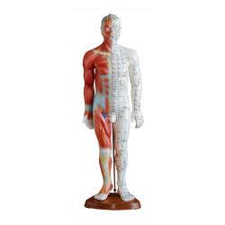 L'anatomie Professional 55cm Medical Acupuncture &modèle musculaire