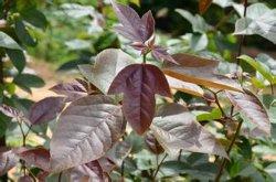 100% 자연적인 Heterophyllous 날개 Seedtree 루트 P.E.