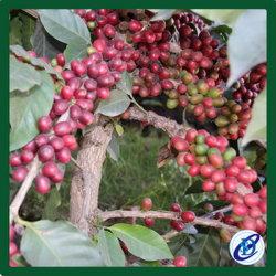 Les fèves de café Robusta, café Arabica haricot vert, le Laos Café