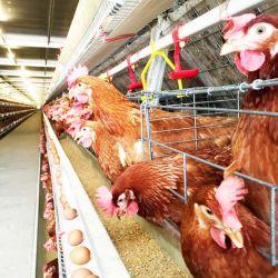 Fabrieksprijs Automatische gegalvaniseerde Farm Equipment veehouderij gevogelte Vogelei Kippenlaag/kippenkippenbatterij legkooi/kippenkippenkippenkippenkippenkippenkippenkippenkippenhok te koop met mest Systeem