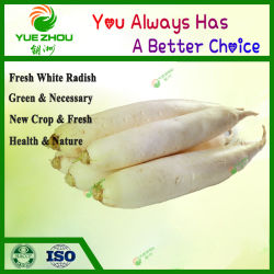 Nueva Cosecha rábano blanco fresco de la competencia para la venta