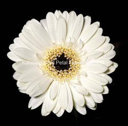 Commerce de gros de fleurs fraîches coupées blanc populaire gerbera