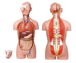 Dual-Sex Torso para maniquí humano Anatomía Humana