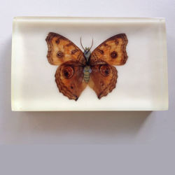 De Presse-papier van Embedment van de Vlinder van het perspex voor de Minnaar van de Inzameling van Insecten