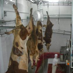 Moslemische Rindfleisch-Schlachtlinie mit Kuh-Metzger-Schlachthof-Maschinerie