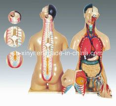 Xy-3301-3 Torso masculino y femenino humano