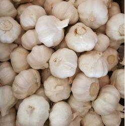 Fermentado conjunto orgánico de Ajo Negro precio de fábrica de lámparas