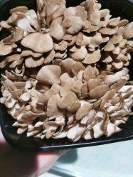 Maitake eetbare schimmels vers China gemaakt