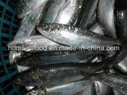 전체적인 Fround에 의하여 어는 정어리 물고기 (Sardinella aurita)