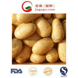 La nouvelle récolte de pommes de terre jaunes fraîches (50-100g)