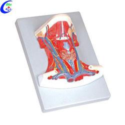 Anatomia médicos auxiliares pedagógicos para estudantes