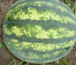 Hybride riesige Wassermelone sät grüne Haut mit dunkelgrünem Streifen-Wassermelone-Startwert für Zufallsgenerator