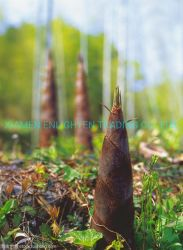 Pack de frais de pousses de bambou en conserve des aliments en conserve les tranches des bandes de bambou en saumure dans l'eau peut être marque OEM avec des prix concurrentiels 567g