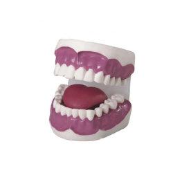 Pädagogisches Trainings-zahnmedizinisches Zahn-Modell Belüftung-Zahn-Anatomie-Modell