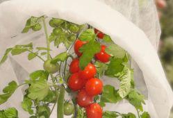 Housses un Tomates Tomates couvre croissante