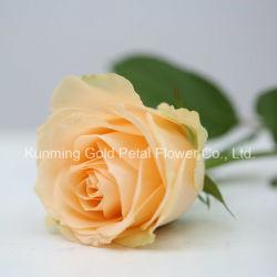 Wholsales flores frescas cortadas Durazno Snowmountain Rose Rose