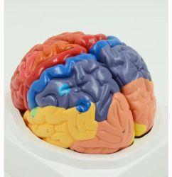 Dispositivo de Ensino de PVC médicos modelo de formação do estudante de Medicina Two-Part Multi-Color Anatomia Humana Modelo cerebral
