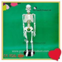 85cm du corps humain squelette osseux Modèle suspendu