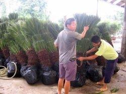 Cycas Revoluta (Cycads, palma da sago, Cycad del sagù, lampadine e bonsai)