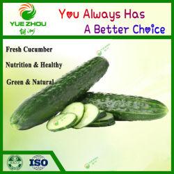 Оптовые цены на зеленый свежий огурец с самого высокого качества
