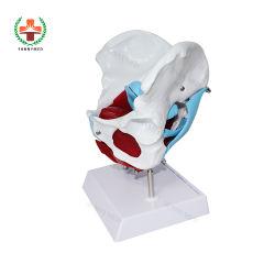Си-N039 медицинскую подготовку в области таза женщины анатомических структур и тазовое дно мышцы модели