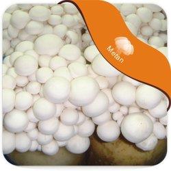Weißer Shimeji Pilz