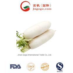 Qualidade superior Rabanete Branco fresco Rabanete Saúde frescos produtos hortícolas (500g)