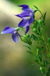 Extrait naturel de plante extrait de racine de Balloonflower avec taux d'extraction 10: 1 pour l'expectorant et la protection pulmonaire Herbal