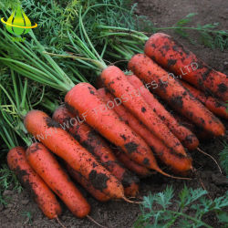 la scatola di 80-150g 150-200g 200-250g 5kg/7kg/8kg/9kg10kg ha imballato la figura lunga Non-Sbucciata il nuovo raccolto verdura fresca colore giallo/rossa della carota dalla Cina con il buon prezzo