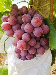 Frutta rossa fresca di alta qualità all'ingrosso in grandi quantità, deliziosa da Xinjiang, Cina