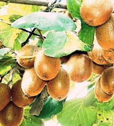 Best-Selling nouvelle récolte de l'exportation de fruits frais de bonne qualité Kiwi