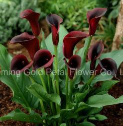 自然で最もよい価格の切りたての花のオランダカイウユリ