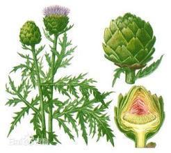 최신 판매 공장은 직접 경쟁적인 Price100% 자연적인 아티초크 잎 추출 분말을 공급한다