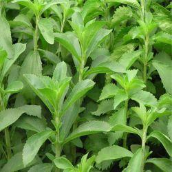 Высокое качество пищевых сортов: CAS 57817-89-7 Гч-A40-99% Stevia Stevioside сахара