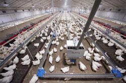 전 세트 가금 농기구 - 종축 닭을%s 종축 사슬 공급 장비