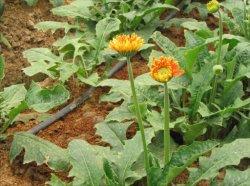 PE 파이프 물이 뚝뚝 떨어지는 관개 시스템 - 꽃 재배용 농장