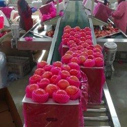 Nova cor de boa colheita Shandong Saco de papel FUJI Apple