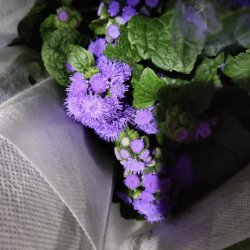 Distribuidores de la flor superior de China de flores frescas cortadas Capitatum crisantemo para decoración