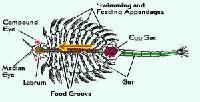 Los quistes de Artemia y los huevos de Camarón de salmuera (AAA-90HR)