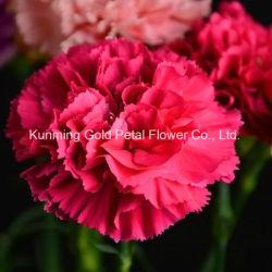 Hot vendre les fleurs coupées fraîches Peach Carnation pour les cadeaux
