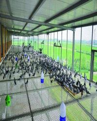 La vente des sections de l'équipement Free-Range Pigeon