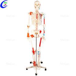 Медицинской моделью 180см искусственного человеческого тела анатомии скелета модели