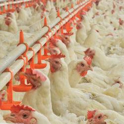 조립식 닭 헛간을%s 가진 환경 통제 보일러 가금 농기구
