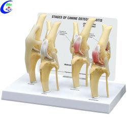 Modèle de maladie de genou de chien les Kits de modèle animal