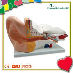Het medische Onderwijs 3D Menselijke Model van het Oor