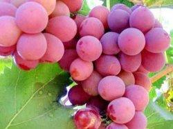 La nouvelle récolte de raisin rouge frais doux