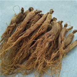 Estratto naturale puro standard della radice del Ginseng di GMP Panax