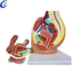 여성 골반 캐비티 해부학적 모델 교육
