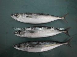 Seafood Frozen Mackerel Fish da vendere